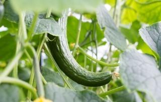 Persbericht: Kromme komkommers hit in supermarktschap